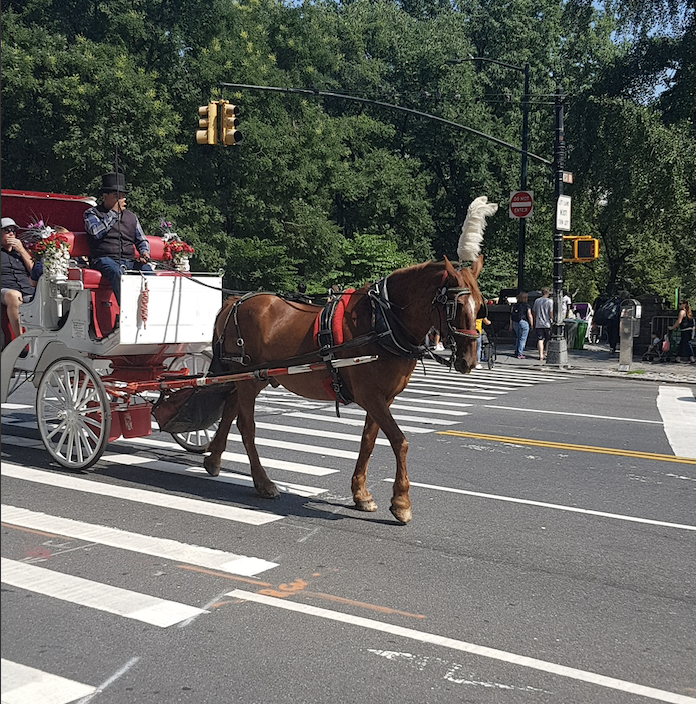 Carriage horse working in NYC on a hot Summer day